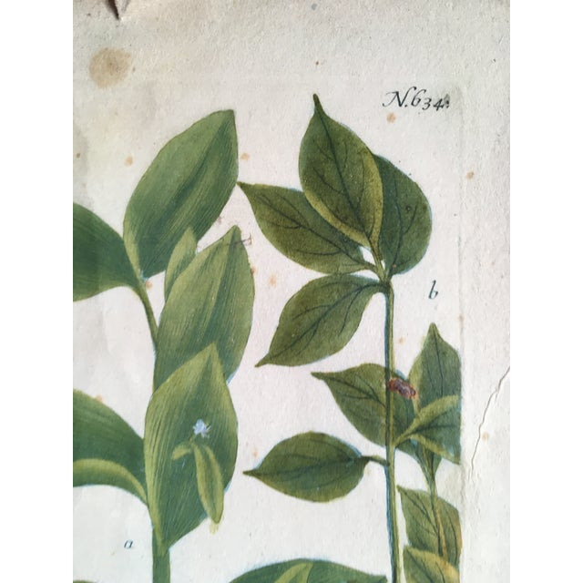 Mid 18th Century Mid 18th Century Antique Johann Wilhelm Weinmann Olive Branches Print For Sale - Image 5 of 11