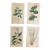 """Image of Botanical Engravings on Paper from """"The Botanical Magazine"""" by William Curtis - Set of 4 For Sale"""