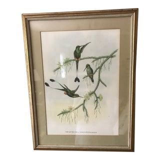 """Spathura Solstitlalis"" Hand Colored Gould Hummingbirds Lithograph Print"
