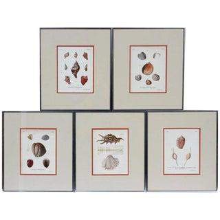 18th Century German Engravings of Seashells - Set of 5 For Sale
