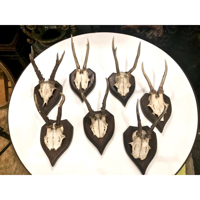 Set of 7 Black Forest Mounted Roebuck Horns, C. 1910 For Sale - Image 12 of 12
