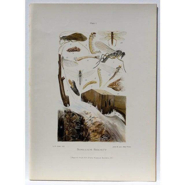 Simulium Flies Print - Chromolithograph - Image 2 of 7