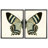 Image of Split White & Blue Butterfly Prints in Copper & Black Shadowboxes 38ʺ × 25ʺ - a Pair For Sale