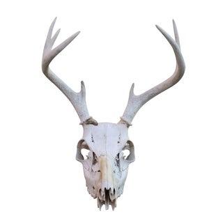 4-Point Deer Skull For Sale