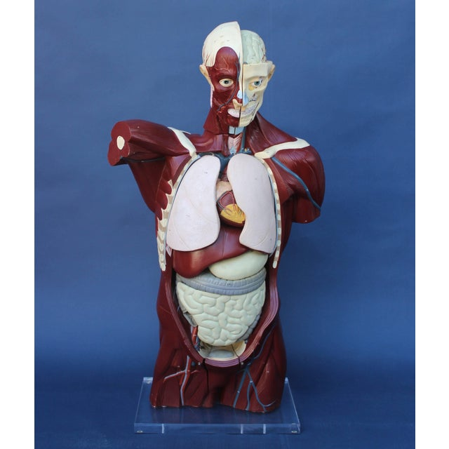Life-size anatomical model on Lucite base... all the individual organs hang in torso... a great learning device and...