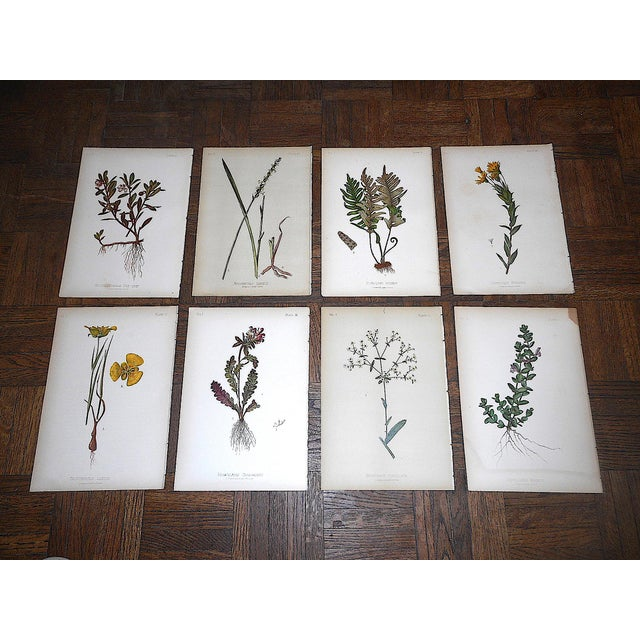 Lithograph Antique 19th Century Botanical Lithographs - Set of 8 For Sale - Image 7 of 7