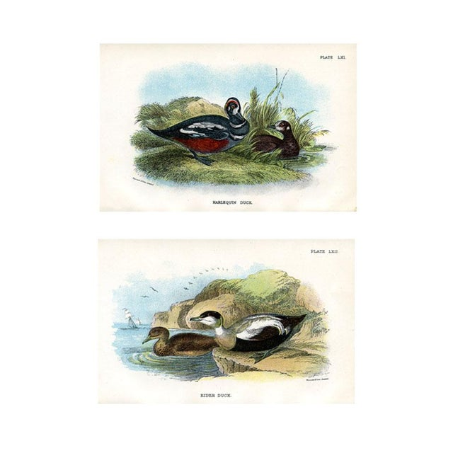 Antique Duck Prints, 1896, Pair of Original Lithographs For Sale - Image 4 of 4