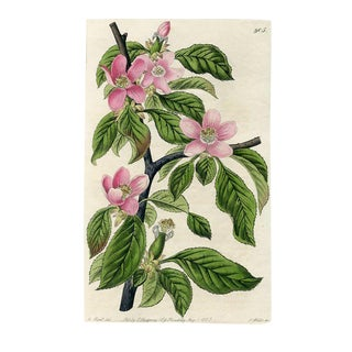 Chinese Quince, 1825 Botanical Print For Sale