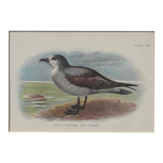 White Throated Grey Petrel Print, 1890 For Sale