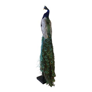 Texidermied Peacock on Stand