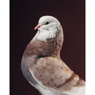 """Contemporary Limited Edition Baldhead Roller Pigeon Print (32x40"""") by Brendan Burden For Sale"""