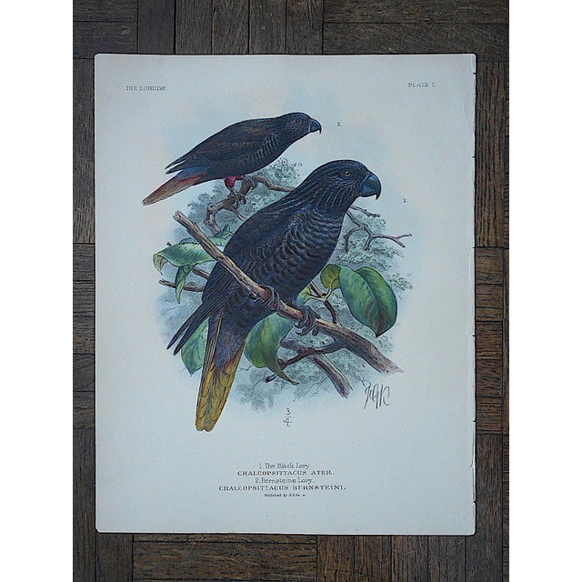 Antique Parrot Lithograph-Hand Colored-Black Lory & Bernsteins Lory - Image 2 of 3
