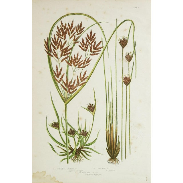 Farmhouse Antique Botanical Grasses Lithographs - A Pair For Sale - Image 3 of 4