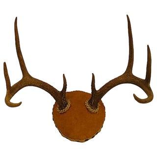 Gold Velvet Mounted Horns