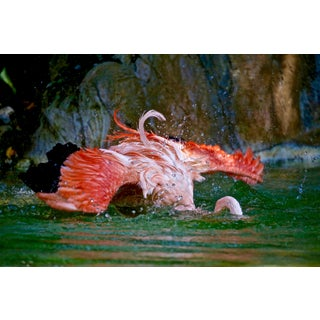 """Flamingo Series #4048 """"Diving"""" Photograph For Sale"""