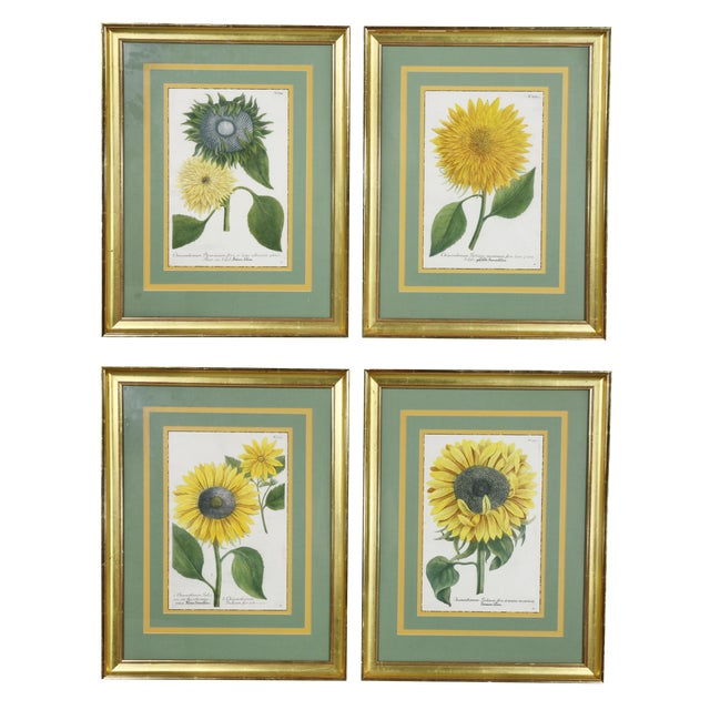 """Sunflowers"" Hand Colored Botanical Engravings - Set of 4 For Sale"