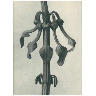 1928 Original Period Photogravure N25 of Aristolochia Clematitis by Karl Blossfeldt Preview