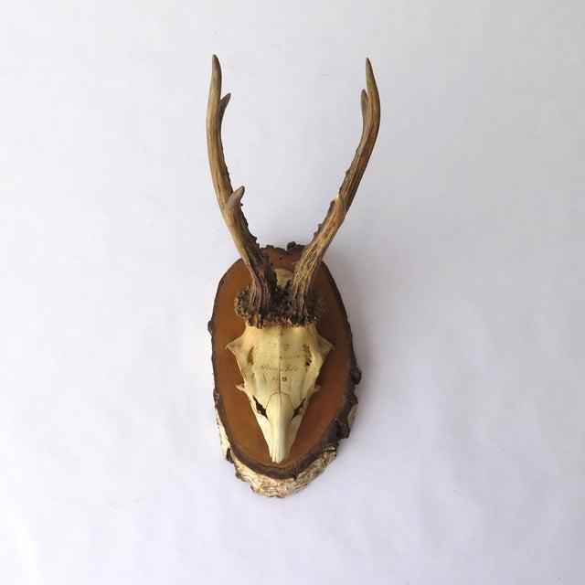 Vintage Roe Deer on Birch, 1937 - Image 2 of 7