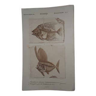 Sepia Fossilized Fish Engraving For Sale