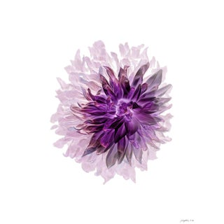 Floral Portrait Rosy Dahlia Print For Sale