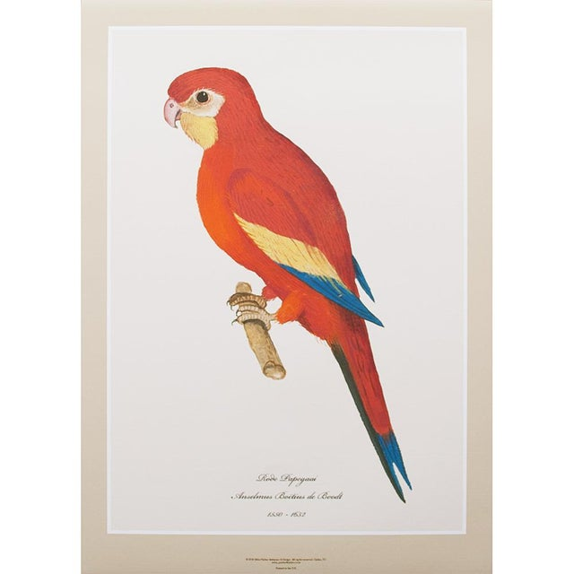 Drawing/Sketching Materials 1590s Large Print of Red Parrot by Anselmus De Boodt For Sale - Image 7 of 7