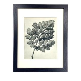 Framed Antique Botanical Blossfeldt Print - No. 50 For Sale