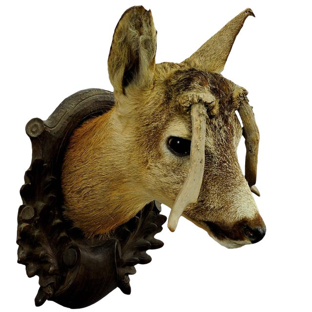 Deer Head Taxidermy With Abnormous