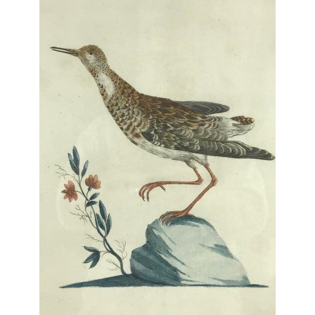 Figurative Late 18th Century Calidris Gambetta Bird Print by Saverio Manetti For Sale - Image 3 of 6
