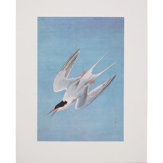 1960s Cottage Style Lithograph of a Roseate Tern by John James Audubon