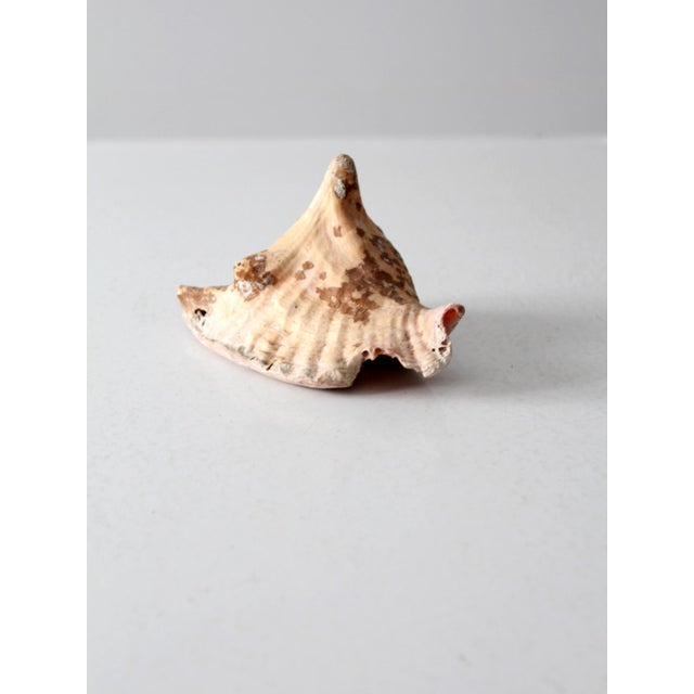 Boho Chic Vintage Natural Conch Shell For Sale - Image 3 of 7