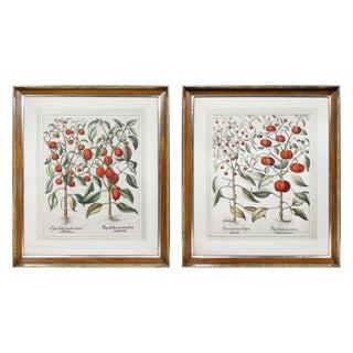 Pair of Botanical Engravings of Tomatoes by Basilius Besler For Sale