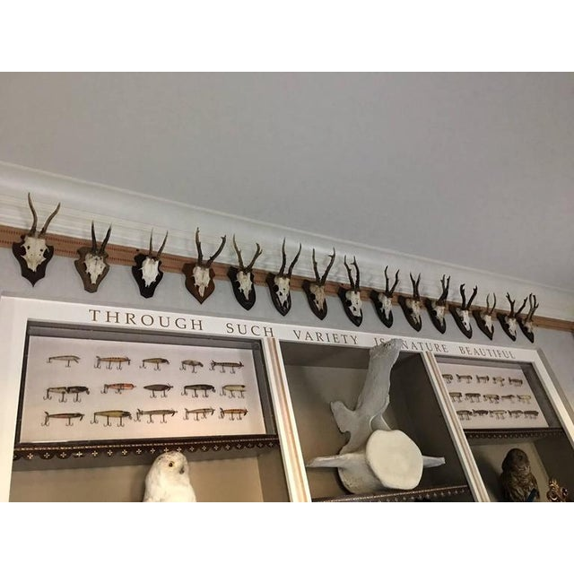 Mounted Roebuck Antlers For Sale In Savannah - Image 6 of 6