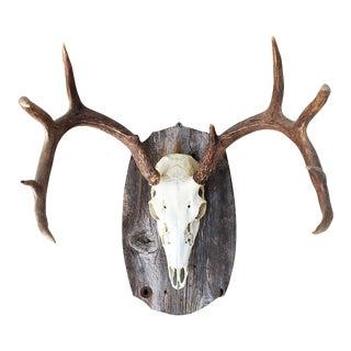 European Style Deer Antler Mount & Plaque For Sale