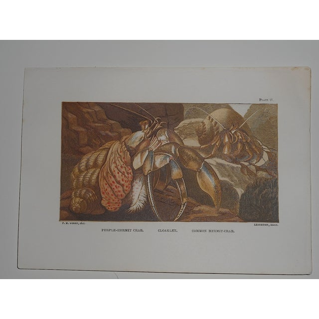 Antique Sea Creature Lithograph - Image 2 of 3