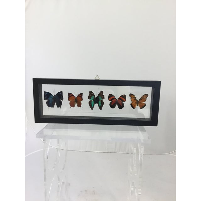 Blue Butterfly Specimen in Shadow Box Frame For Sale - Image 8 of 8