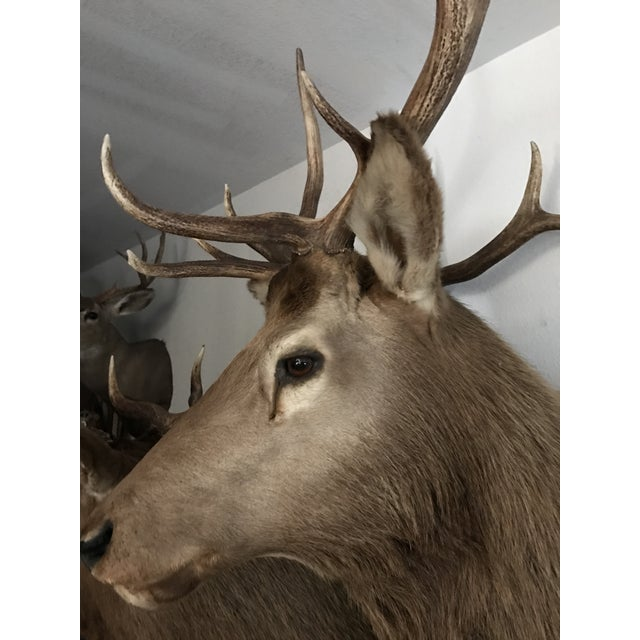 Rocky Mountain Elk Taxidermy Mount - Image 5 of 6