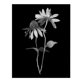 Floral Portrait Dancing Echinacea Print For Sale
