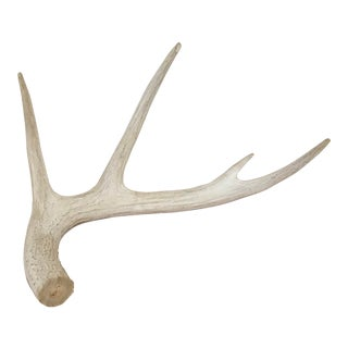 Antler Naturally Shed Decorative Display Piece For Sale