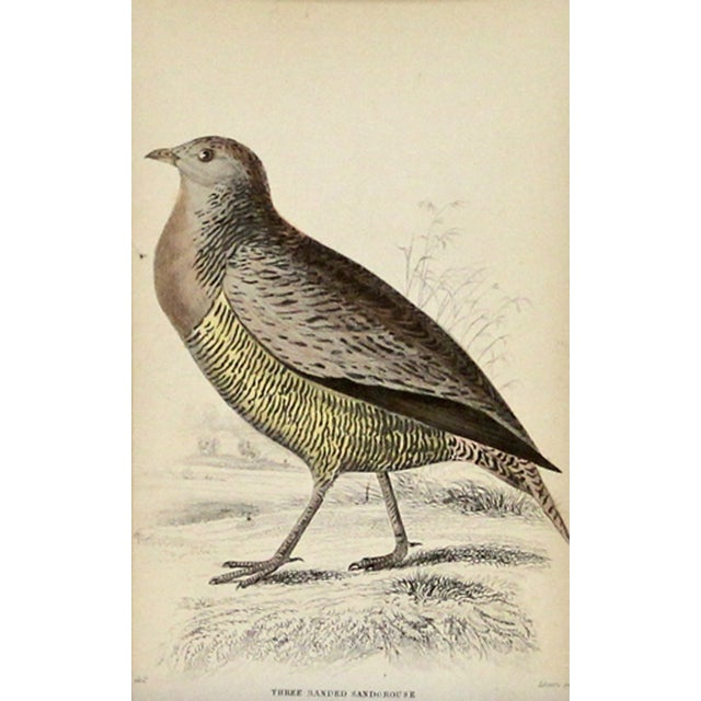 Antique Sir William Jardine Sandgrouse Engraving - Image 1 of 2