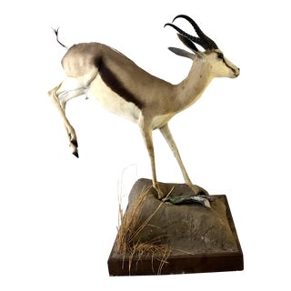 Taxidermy Full Sized Kalahari Springbok For Sale