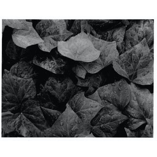 Ivy Black and White Still Life Photo Garo For Sale