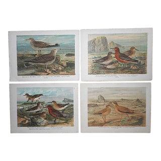 Antique Lithographs-Shore Birds-Set of 4 For Sale
