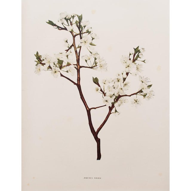 1900s Original Cherry Blossom Photogravures by Hedrick - a Pair For Sale - Image 9 of 11