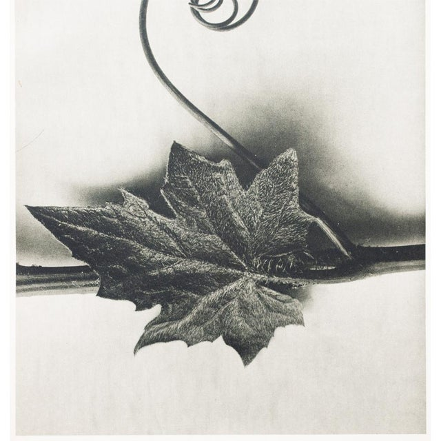 1935 Karl Blossfeldt Two-Sided Photogravure N46-45 For Sale - Image 4 of 9