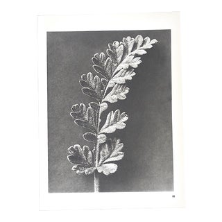 Vintage Modernist Botanical Photogravures by Karl Blossfeldt-Extreme Close-Ups of Flora C.1942