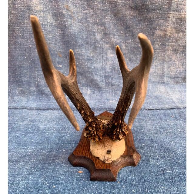 Brown Vintage Roe Deer Trophy Belgium 1931 For Sale - Image 8 of 11