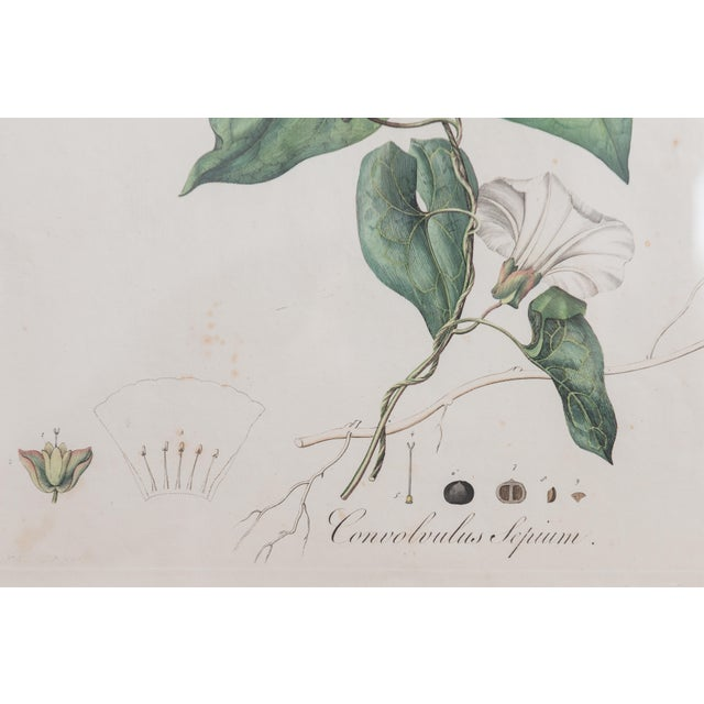 Antique French Botanicals- A Pair - Image 3 of 5