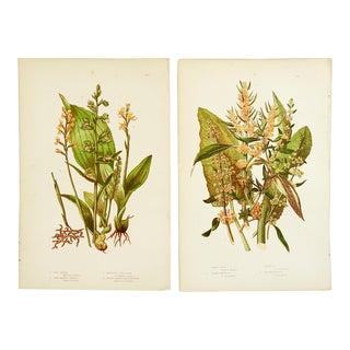 Antique Botanical Lithographs - A Pair For Sale
