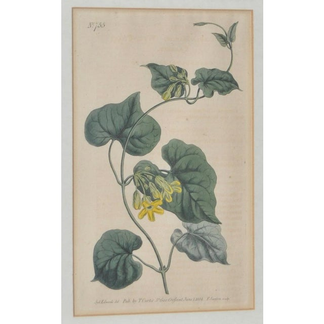 Traditional Curtis Botanical Hand Colored Engraving c.1804 For Sale - Image 3 of 6