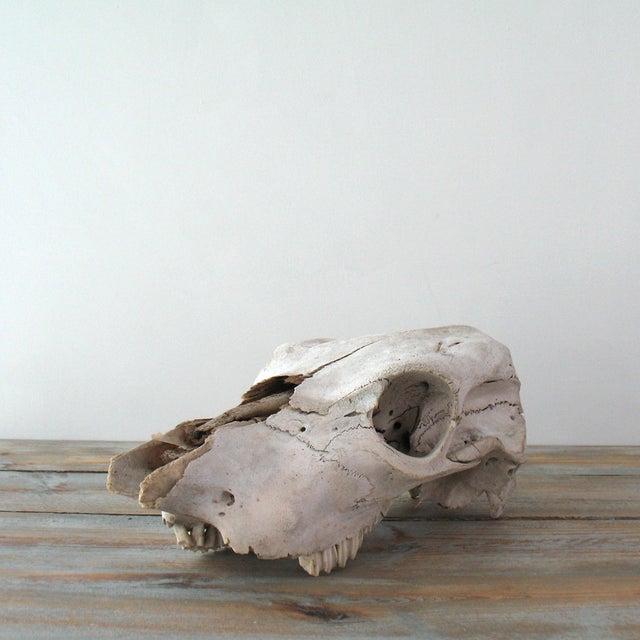 Vintage Cow Skull - Image 3 of 7